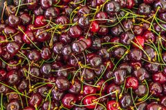 Freshly picked cherry`s from the tree Royalty Free Stock Image