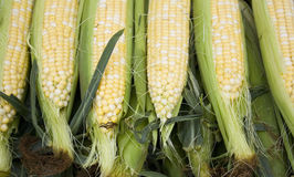 Freshly Picked Corn on the Cob Stock Images