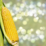 Freshly picked corn cob with copy space Royalty Free Stock Photography