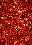 Freshly picked cranberries. Freshly picked red and yellow coloured wild cranberries Stock Photos
