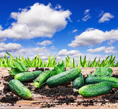 Freshly picked cucumbers on the ground Royalty Free Stock Photo
