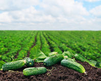 Freshly picked cucumbers on the ground Stock Photography