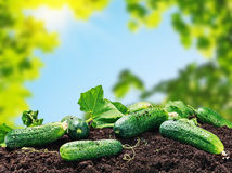 Freshly picked cucumbers on the ground Royalty Free Stock Photography