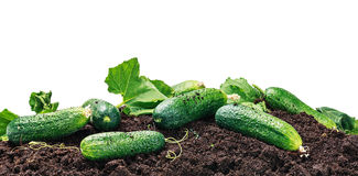 Freshly picked cucumbers on the ground isolated Stock Photography