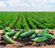 Freshly picked cucumbers on the table Royalty Free Stock Photos
