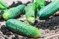 Freshly picked cucumbers on the table Royalty Free Stock Image