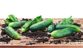 Freshly picked cucumbers on the table isolated Royalty Free Stock Photos