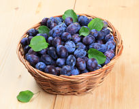 Freshly picked damson plums Stock Images