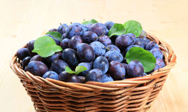 Freshly picked damson plums royalty free stock images