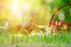 Freshly picked eggs in basket on the field with chickens. Freshly picked eggs in wicker basket on the grass and background with chickens in the field and backlit Royalty Free Stock Image