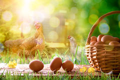 Freshly picked eggs in wicker basket and field with chickens. Freshly picked eggs in wicker basket on wooden base and background with chickens in the field and Royalty Free Stock Photo