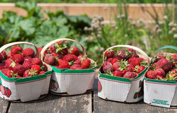 Freshly Picked Field Strawberries. A front view of freshly picked field strawberries in quart baskets sitting on a wooden platform with the garden in the Royalty Free Stock Photo