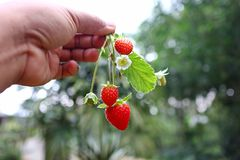 Freshly picked fresh strawberries, still leaves and flowers royalty free stock images