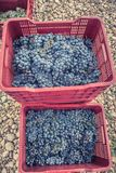 Freshly picked grapes denomination of origin Valtiendas in Segovia Spain. Freshly picked grapes denomination of origin Valtiendas in Segovia stock photography