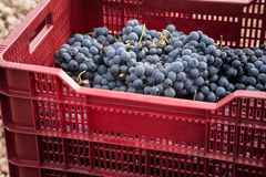 Freshly picked grapes denomination of origin Valtiendas in Segovia Spain. Freshly picked grapes denomination of origin Valtiendas in Segovia royalty free stock images