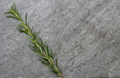 Freshly picked herb  Rosemary on a stone background Stock Image