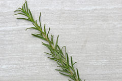 Freshly picked herb  Rosemary Stock Image