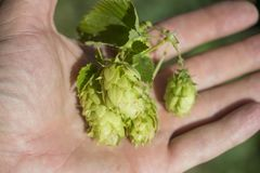 Freshly picked Hops on hand stock photos
