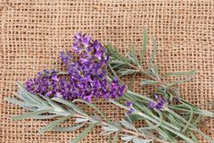 Freshly picked Lavender Flowers Stock Photography