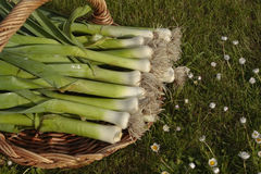 Freshly picked leeks Stock Image