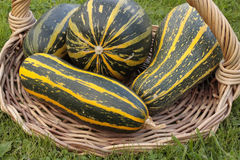 Freshly picked marrows in basket Royalty Free Stock Photos