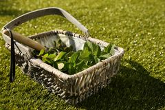 Freshly picked mint leaves in a wicker basket Royalty Free Stock Photos