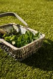 Freshly picked mint leaves in a wicker basket Royalty Free Stock Images