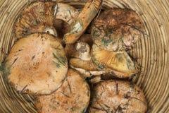 Freshly picked mushrooms Royalty Free Stock Images