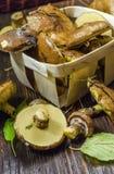 Freshly picked oiler mushrooms. Freshly picked oily mushrooms in a basket stock image