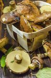 Freshly picked oiler mushrooms. Freshly picked oily mushrooms in a basket stock photo