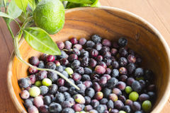 Freshly picked olives Stock Image
