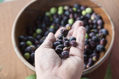 Freshly picked olives Stock Photos