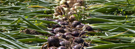 Freshly picked onions on ground Royalty Free Stock Photography