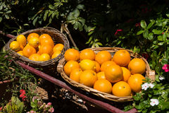Freshly picked oranges in a basket Royalty Free Stock Photo
