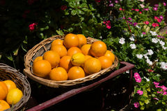Freshly picked oranges in a basket royalty free stock photos