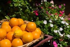 Freshly picked oranges in a basket Stock Image