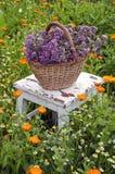 Freshly picked oregano in wicker basket on  chair in garden Stock Photo