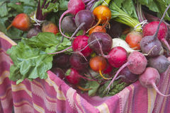 Freshly Picked Organic Beets Royalty Free Stock Photo