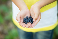 Freshly picked organic blueberries in kid's hands Royalty Free Stock Photo