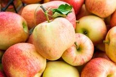 Freshly picked organic gala apples. Organic gala apples freshly picked from an orchard Royalty Free Stock Images