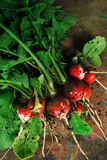 Freshly picked organic red radishes on wooden table. Soil dirt on vegetables, selective focus Stock Image