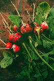 Freshly picked organic red radishes on wooden table. Soil dirt on vegetables, selective focus Royalty Free Stock Image