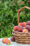 Freshly picked peach fruits in basket Royalty Free Stock Image