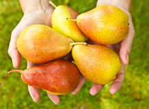 Freshly picked pears Royalty Free Stock Photography