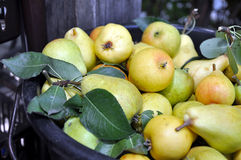 Freshly Picked Pears. Heap of ripe sweet pears Royalty Free Stock Photos