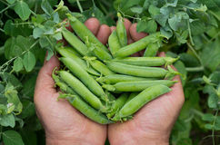 Freshly picked peas Royalty Free Stock Photo