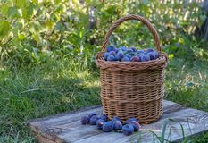 Freshly picked plum in a wicker basket Royalty Free Stock Images