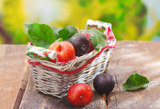 Freshly picked plums in wicker basket Stock Photography