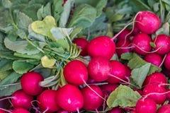 Freshly picked radish Stock Images