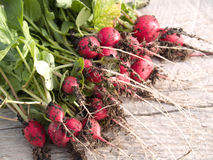Freshly picked radishes. Crop of freshly picked radishes with shoots Stock Photography